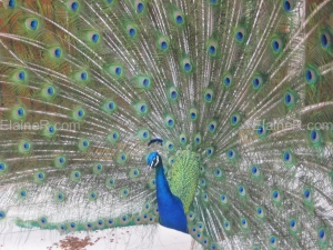 Pierre the Peacock at Hostellerie du Val de Sault